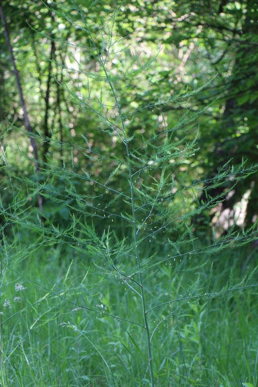 Spargel (Asparagus officinalis), Rote Liste Status: 8 nicht gefährdet, Bild Nr.401, Aufnahme von Nikolaus Eberhardt (28.5.2017)