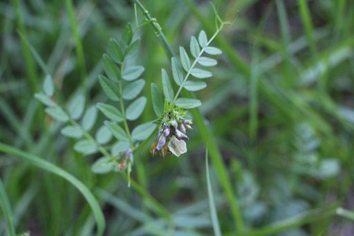 Zaun-Wicke (Vicia sepium), Rote Liste Status: 8 nicht gefährdet, Bild Nr.407, Aufnahme von Nikolaus Eberhardt (28.5.2017)