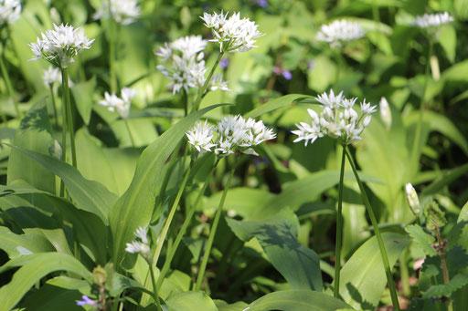 Bär-Lauch (Allium ursinum),Blüte,  Rote Liste Status: 8 nicht gefährdet, Bild Nr.82, Aufnahme von Nikolaus Eberhardt (19.4.2015)