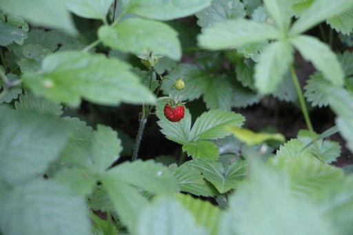 Wald-Erdbeere (Fragaria vesca), Rote Liste Status: 8 nicht gefährdet, Bild Nr.492, Aufnahme von Nikolaus Eberhardt (5.6.2017)