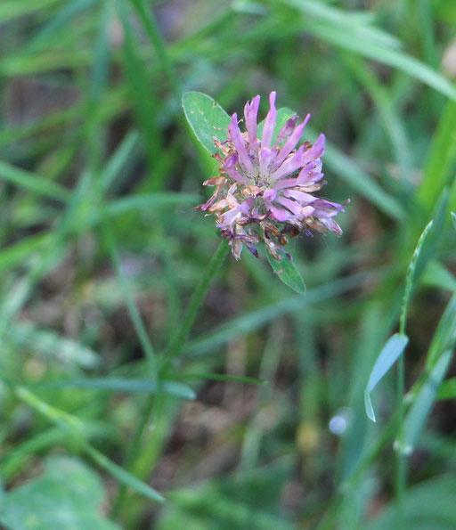 Wiesenklee (Trifolium pratense), Gemeiner-,  Rote Liste Status: 8 nicht gefährdet, Bild Nr.383, Aufnahme von Nikolaus Eberhardt (28.5.2017)