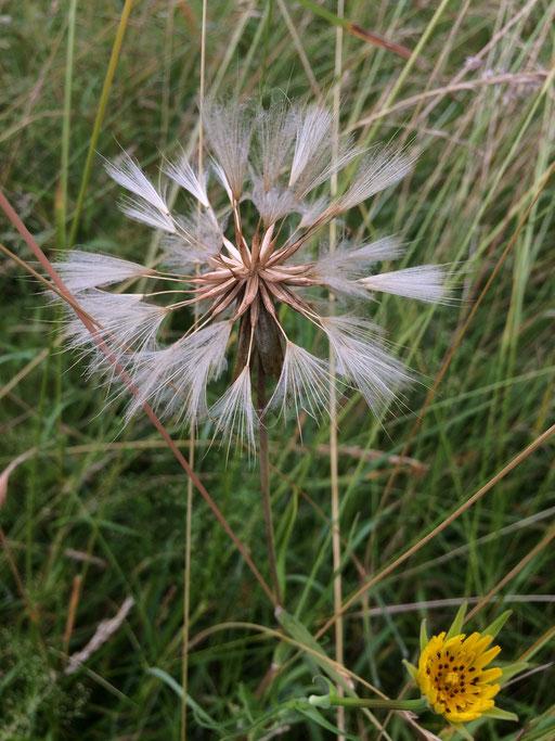 Wiesen-Bocksbart (Tragopogon pratensis), Rote Liste Status: 8 nicht gefährdet, Bild Nr.578, Aufnahme von N.E. (15.6.2018)