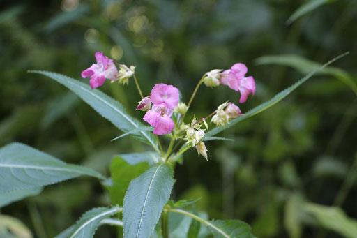 Drüsiges Springkaut (Impatiens glandulifera), rosa, Neophyt,  Rote Liste Status: 8 nicht gefährdet, Bild Nr.113, Aufnahme von Nikolaus Eberhardt (26.7.2015)