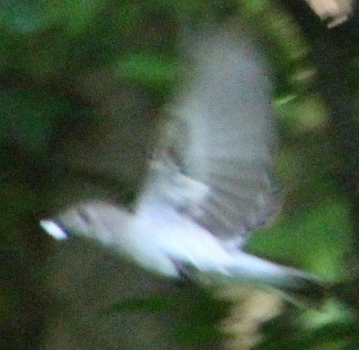 Grauschnäpper (Muscicapa striata), RoteListe: 8 nicht gefährdet, Bild Nr.688, Bild v. Nick E. (17.5.2020)