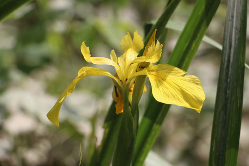 Sumpf-Schwertlilie (Iris pseudacorus), RoteListe: 8 nicht gefährdet, Bild Nr.685, Bild v. Nick E. (17.5.2015)