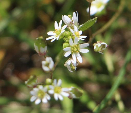 Frühlings-Hungerblümchen (Erophila verna), Rote Liste Status: 8 nicht gefährdet, Bild Nr.592, Aufnahme von N.E. (8.4.2018)
