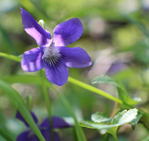 Wald-Veilchen (Viola riviniana), Rote Liste Status: 8 nicht gefährdet, Bild Nr.645, Aufnahme von Nick E. (24.4.2016)