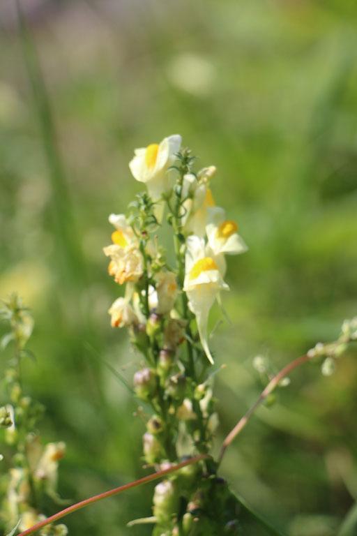 Leinkraut (Linaria vulgaris), Rote Liste Status: 8 nicht gefährdet, Bild Nr.438, Aufnahme von Nikolaus Eberhardt (3.9.2017)
