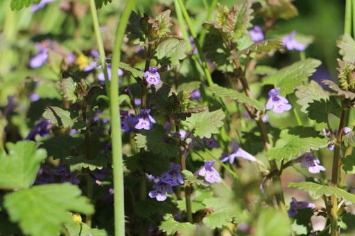 Efeu-Gundermann (Glechoma hederacea), Rote Liste Status: 8 nicht gefährdet, Bild Nr.85, Aufnahme von Nikolaus Eberhardt (1.5.2015)