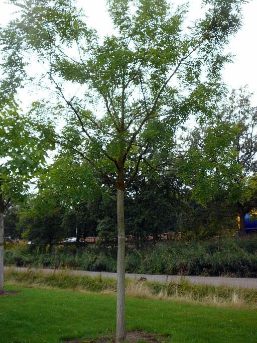 """Sophora japonica """"Regent"""" - Schnurbaum"""