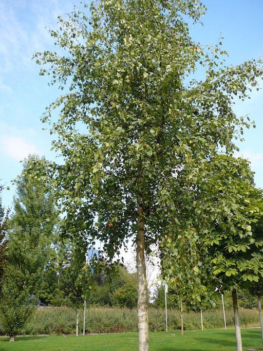 Betula pendula - Weiß-Birke