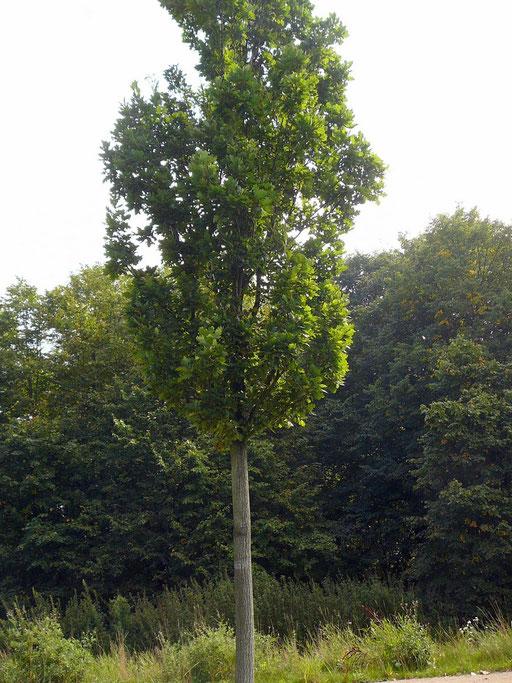 "Quercus robur ""Fastigiata Koster"" - Säuleneiche"