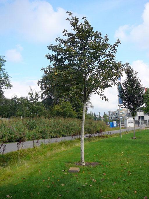 Sorbus intermedia - Mehlbeere