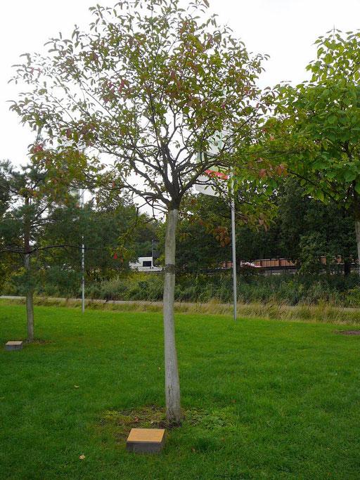 Celtis australis - Südlicher Zürgelbaum