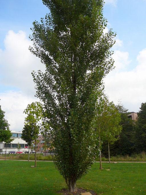 Populus nigra Italica - Italienische Säulenpappel