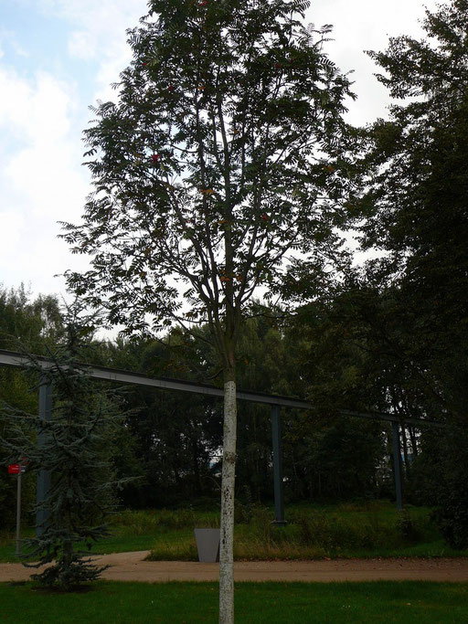 """Sorbus aucuparia """"Sheerwater Seedling"""" - Eberesche"""