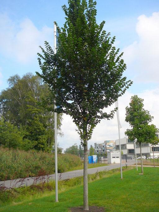 "Ulmus hollandica ""Lobel"" - Schmalkronige Stadt-Ulme"