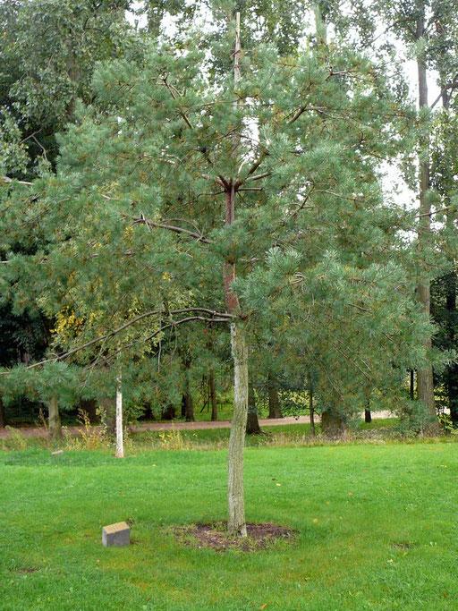 Pinus sylvestris - Waldkiefer
