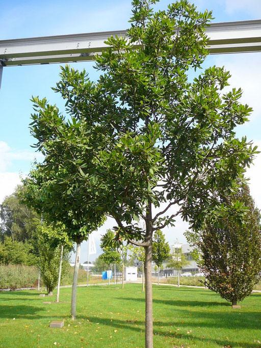 Quercus turneri pseudoturneri - Immergrüne Eiche