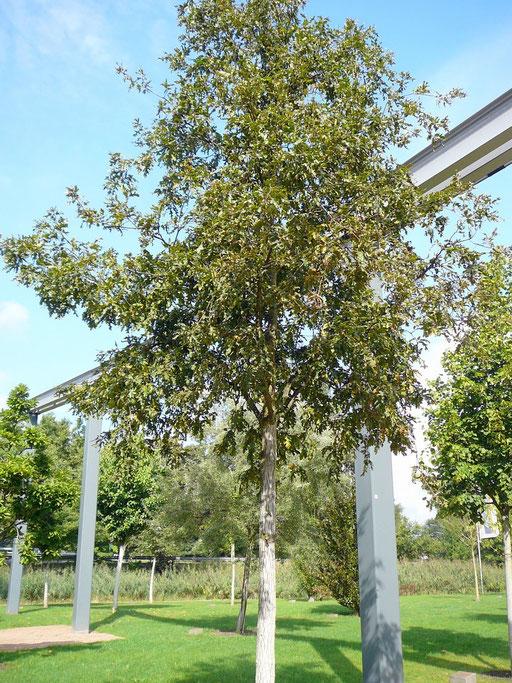 Quercus Cerrus - Zerr-Eiche