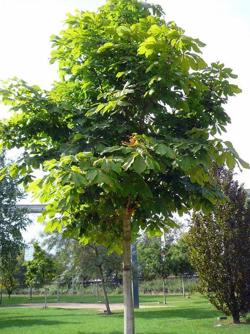 Aesculus hippocastanum - Rosskastanie