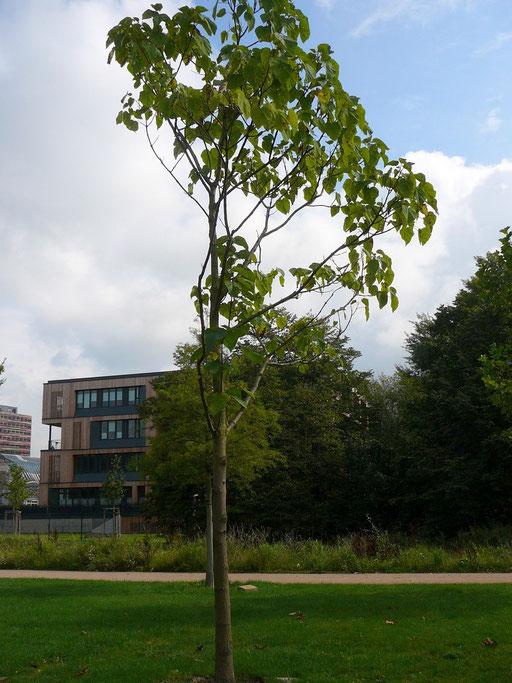 Paulownia tomrntosa - Blauglockenbaum