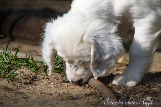 English Setter Foto Impressionen G- und H-Wurf Mai 2014 | Setter by white Angel www.angel-setter.de