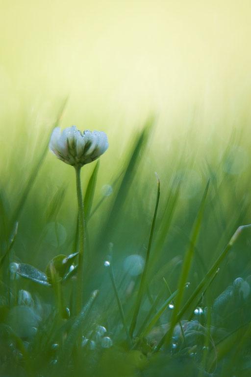 Gänseblümchen mit Morgentau