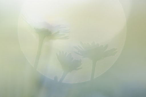 Gänseblümchen mit Reflexkreis