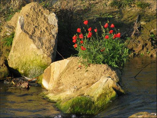 Ein mit Mohn bewachsener Stein in der neuen Fischtreppe an der Lippe