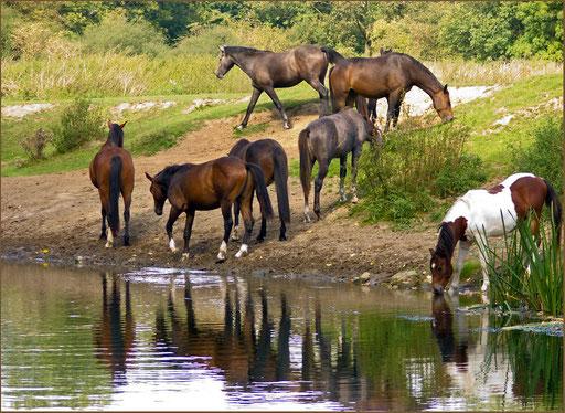 Pferde in den Lippewiesen