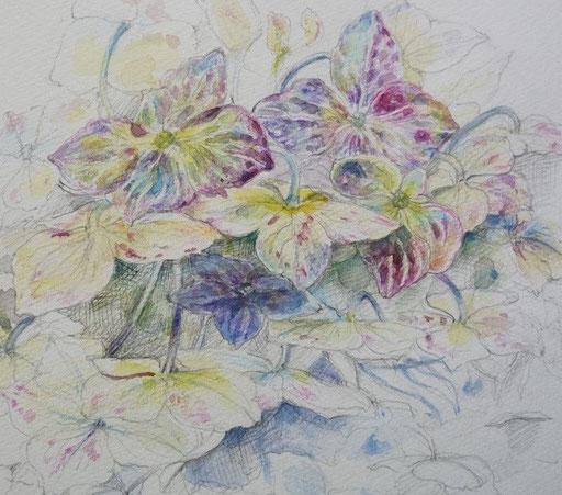 Withered hydrangea  枯れかけた紫陽花 アジサイ