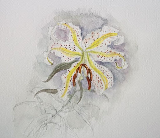 Gold-banded lily 山百合 ヤマユリ