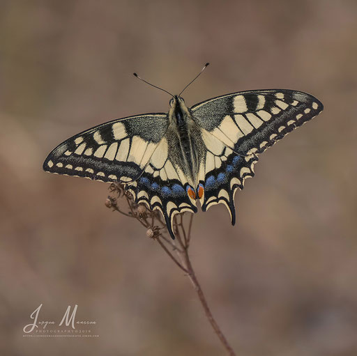 Koninginnenpage - Old World Swallowtail.