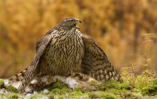 Havik juveniel ♀ - Northern goshawk juvenile ♀.