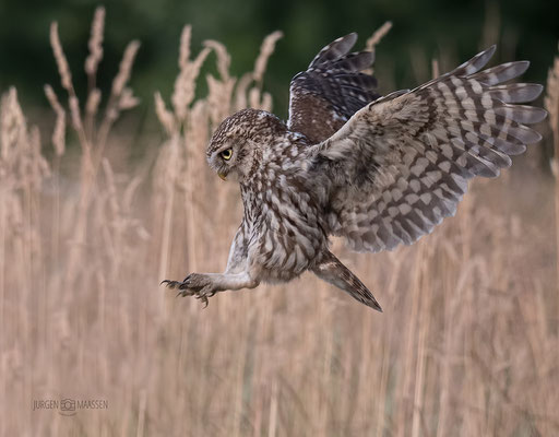 Steenuil, ready for landing - Little Owl, ready for landing.