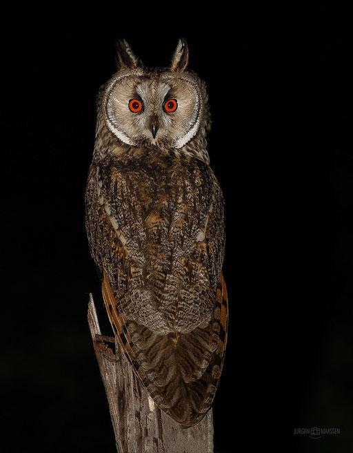 Ransuil - Long-eared Owl.