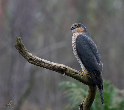 Sperwer, volwassen mannetje - Sparrowhawk, adult male.