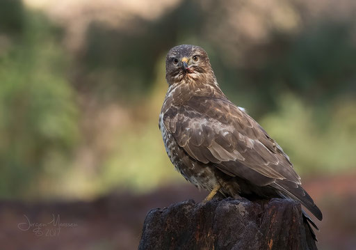 Buizerd - Common Buzzard.