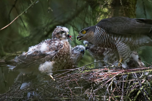 Sperwer ♀ met jongen - Sparrowhawk ♀ with youngsters.