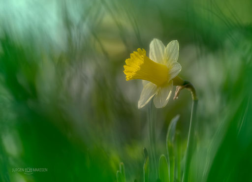 Wilde Narcis - Wild Daffodil.