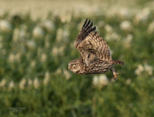 Steenuil in vlucht - Little owl in flight.