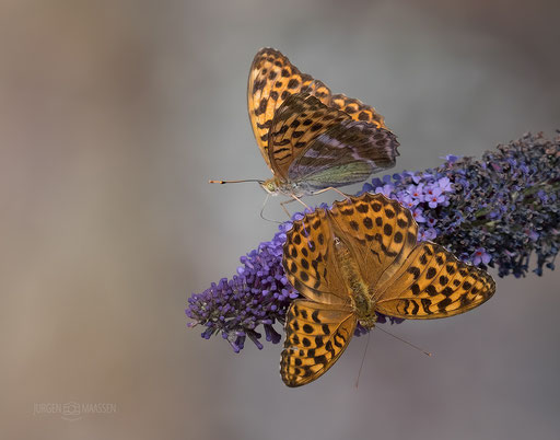 Keizersmantel duo - 2 of a kind, Silver-washed Fritillary.