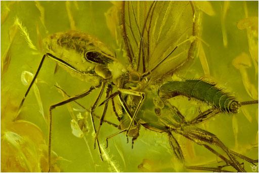 203. Heteroptera, Wanze, Baltic Amber