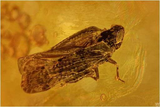 313. Cicadina, Zikade, Baltic Amber