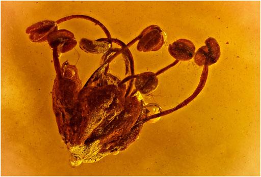 7004, Eichenblüte, Baltic Amber