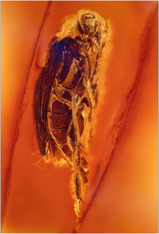 157. Coleoptera, Käfer, Baltic Amber