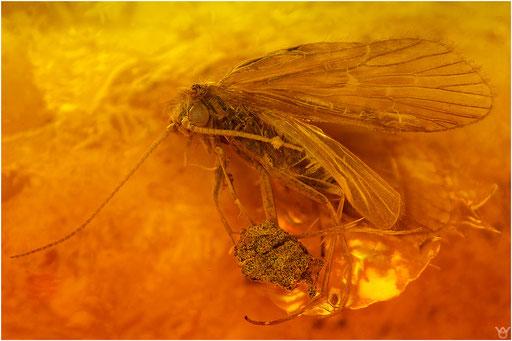267a. Trichoptera, Köcherfliege, Baltic Amber