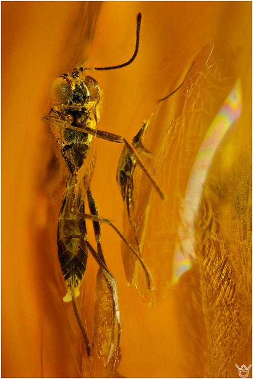 540. Hymenoptera, Wespe, Baltic Amber