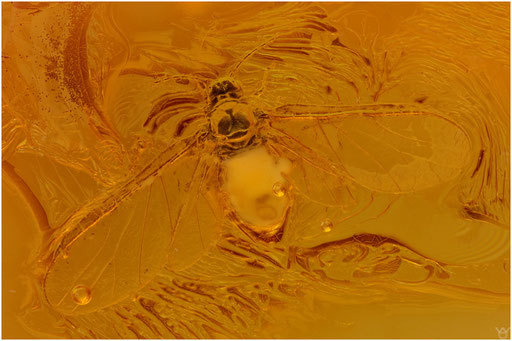 6. Aphidoidea, Blattlaus, Electraphididae, Baltic Amber